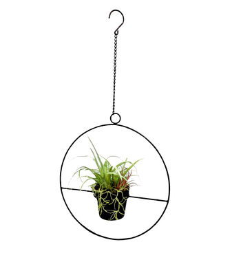 Fresh Picked Greens Air Plant in Black Hanging Ring