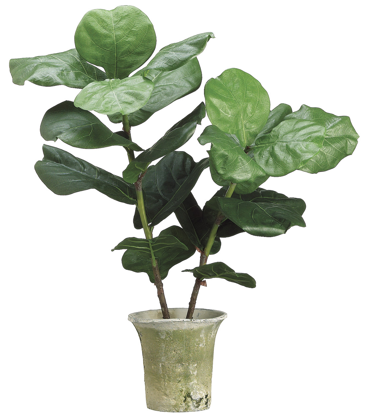 Bloom Room Luxe 32'' Fiddle Plant In Clay Pot-Green