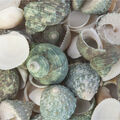 Panacea Natural Green Sea Shells 12pcs