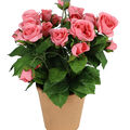 Fresh Picked Spring 11\u0027\u0027 Potted Roses-Pink