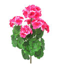 Fresh Picked Spring 18.5\u0027\u0027 Geranium Bush-Magenta