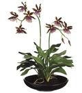Bloom Room Luxe 14\u0027\u0027 Zygopetalum Orchid Plant-Purple