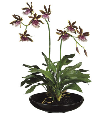 Bloom Room Luxe 14'' Zygopetalum Orchid Plant-Purple