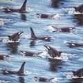 Novelty Cotton Fabric -Killer Whale in Motion