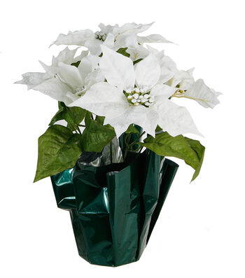 Blooming Holiday Christmas Potted Poinsettia-White