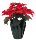 Blooming Holiday Christmas Potted Poinsettia-Red