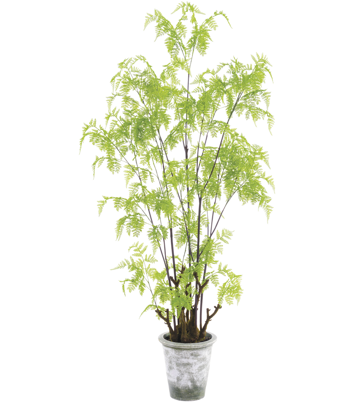 62\u0022 Lace Fern Tree in Clay Pot