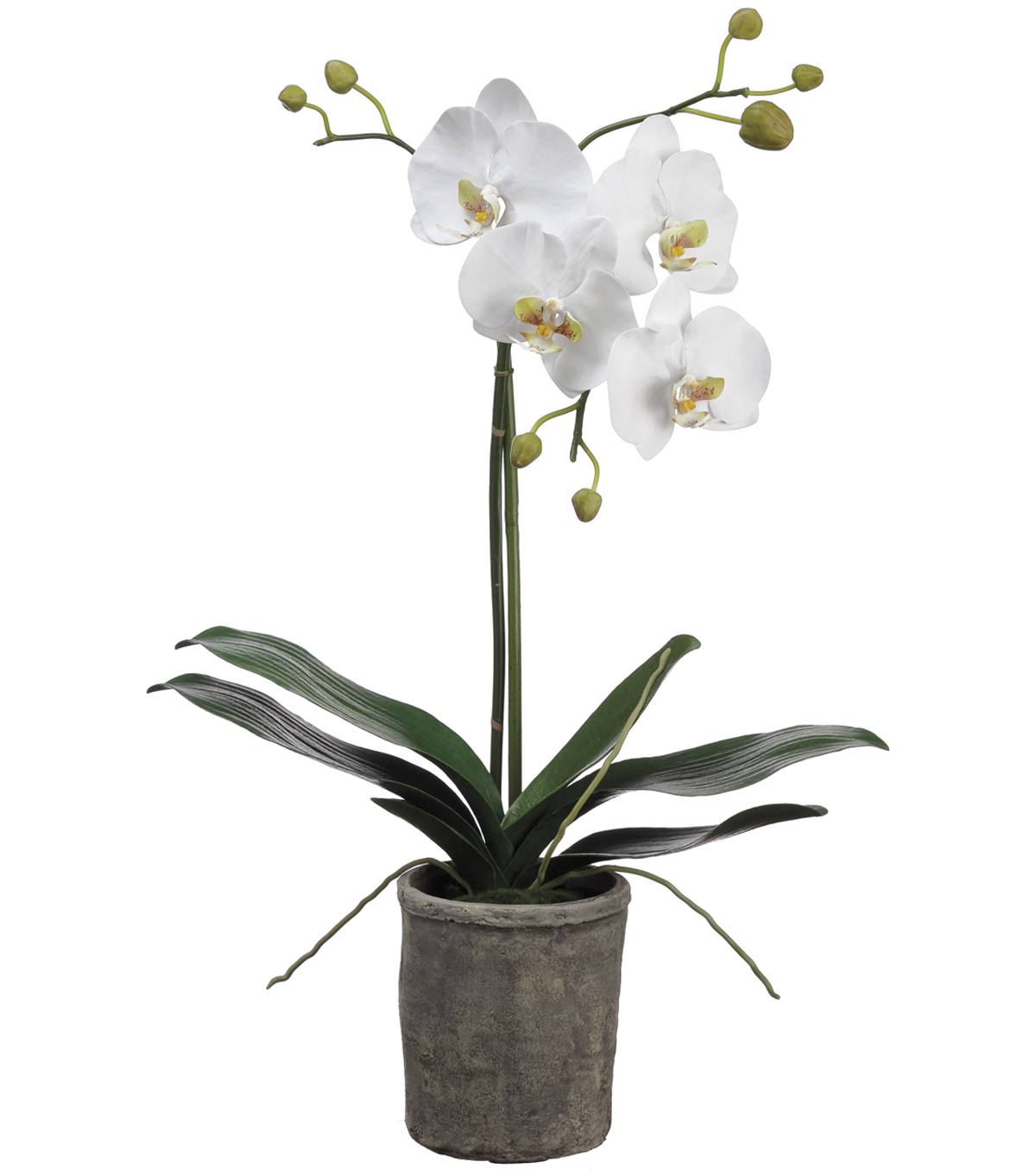 Phalaenopsis Orchid Plant in Clay Pot 25\u0027\u0027